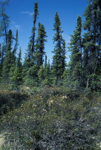 ecosystems of canada. Boreal Ecosystems grow in